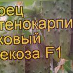 Огурец Стрекоза (Огурец). Краткий обзор, описание характеристик, где купить семена cucumis sativus