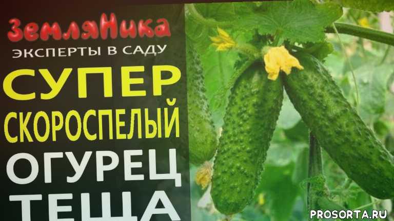 купить семена гавриш, seedspost.ru интернет магазин, seedspost.ru, интернет магазин семян, купить семена огурцов, купить семена, эксперты в саду, земляника эксперты в саду