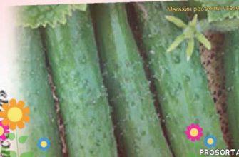 огурец зозуленок f1 какие растения сажают рядом, огурец зозуленок f1 посадка и уход, огурец зозуленок f1 уход, огурец зозуленок f1 посадка, огурец зозуленок f1 отзывы, где купить семена огурец зозуленок f1, купить семена огурца зозуленок f1, семена огурец зозуленок f1