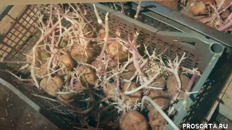 Омолодить сорт картофеля в домашних условиях ; Гипотеза или Аксиома