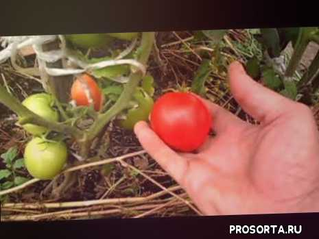 помидор глория