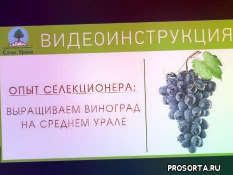 виноград в подмосковье, виноград в сибири, виноградник, виноград на севере, виноград венгерский, лоза, аметист новочеркасский, виноград алешенькин