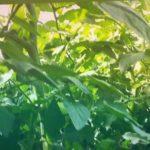 Осень 2019 томат белфорт ф1 август 29