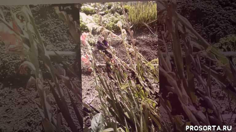 Отцвели гладиолусы, что делаем дальше для того чтобы наросла луковица