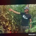 Отзыв выращивания томата Белфорт от Рамиля.