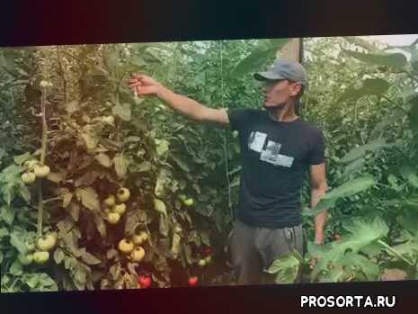 новый томат, томат махитос, томат райк цван, томат никерсон цван, томат хазера, томат сингента, энза заден, томат мешуа