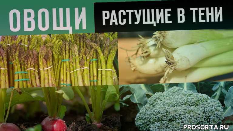 полутень, тень, какие овощи любят расти в тени, овощи растущие в тени на даче, какие овощи хорошо растут в тени, какие овощи растут в тени на огороде, овощи растущие в тени и полутени, тенелюбивые растения