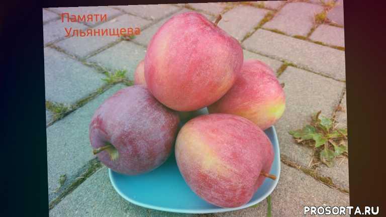 лучшие сорта яблони, вкусные сорта яблони, зимние сорта яблони, саженцы яблони, сорт яблони памяти ульянищева