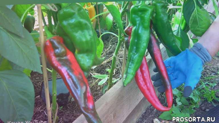 урожайный огород, советы, информация, полезно, чем подкормить перец, как вырастить перец, уход за перцем, подкормка перца