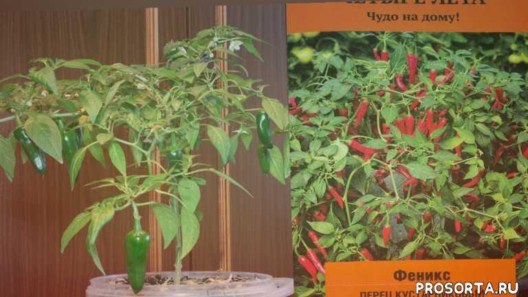 перец на окне, овощи дома, выращивание перца дома, прктичный огород, николай пименов, перец острый феникс, перец дома, обзор