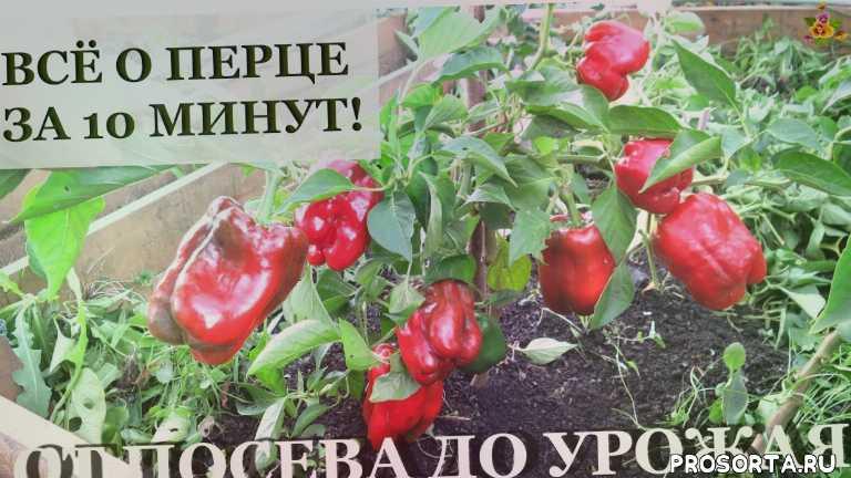 аленин сад, выращивание перца, перец от посева до урожая