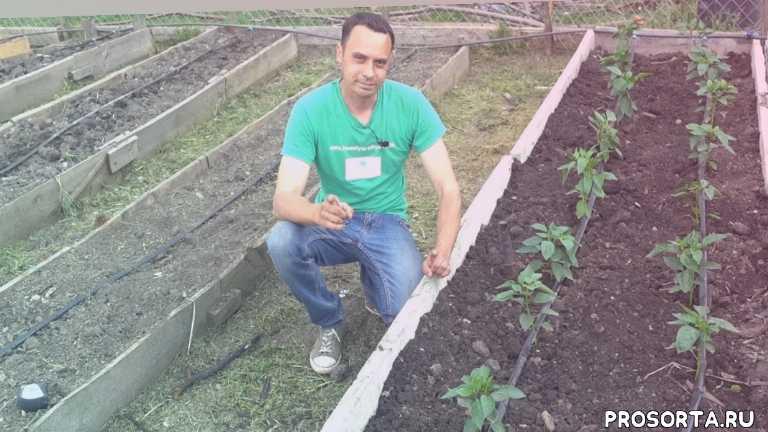 технология выращивания перца, тёплые грядки, зеленая планета, как посадить рассаду перца, как посадить перец, когда сажать перец, высадка перца, рассада перца