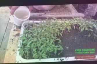 vo sadu li v ogorode, сад, миняева, minyaeva, урожай, пикировка помидоров, стаканчики для рассады, пикировка рассады