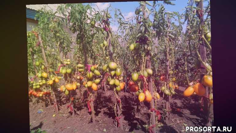 с чего начать посев, для открытого грунта, посев томатов 2019 года, огородная азбука, ольга чернова