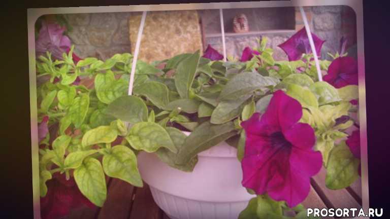 клумба, цветоводам, цветоводство, цветник, болезнь цветов, однолетние цветы, красивые цветы, садовые цветы