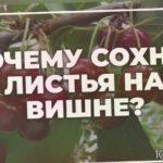 Почему сохнут листья на вишне? | toNature.Info