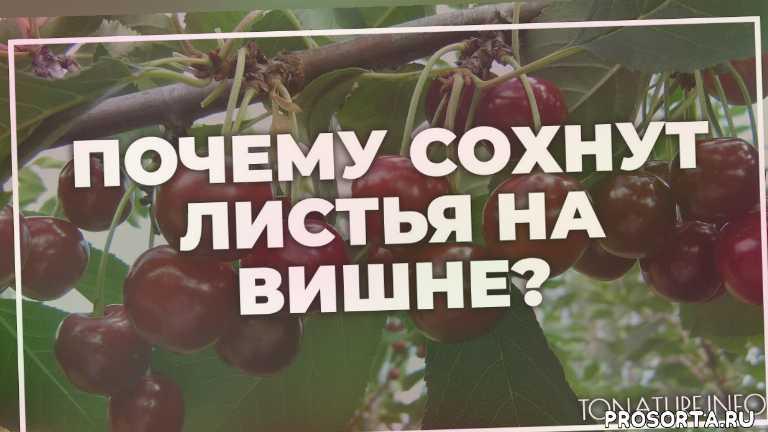 земля длявишне, почва для вишне, вишне полив, вишне вредители, вишне болезни, вишне удобрение, вишне подкормка, вишне пересадка