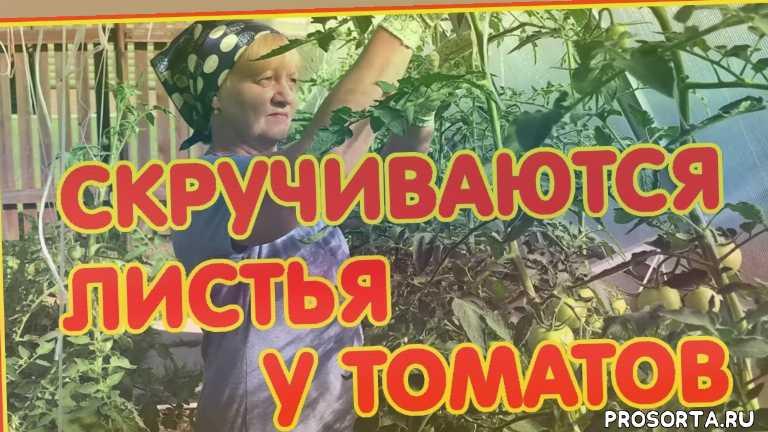 рассада томатов, просто марина, белокрылка, паутинный клещ, тля, куст, высадка, урожай