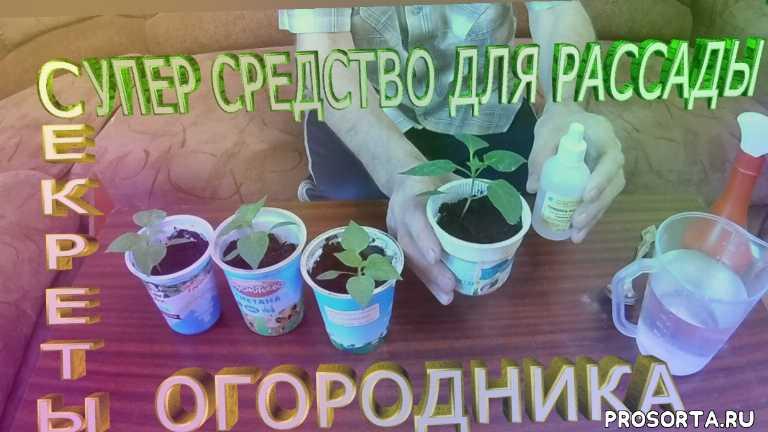 применение перекиси, как вырастить рассаду перца, перекись водорода, супер средство, урожайный огород, как вырастить рассаду, подкормка рассады перца, растет как на дрожжах