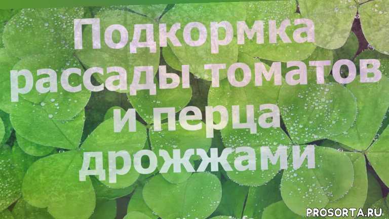 подкормка рассады, перед, томаты, справочник комнатных растений, пересадка растений, черенкование, выращивание, размножение растений