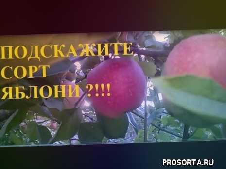 лучшие сорта яблони, сорта яблони, заготовка яблок, уборка яблок, яблоки поздние, яблоки средние, яблоки ранние, яблочный урожай