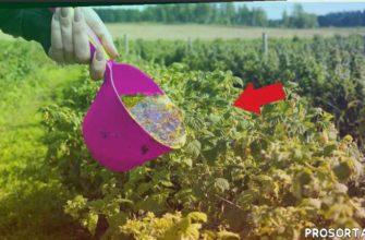 сад огород, малина подкормка, малина урожай, малина уход в мае, малина уход весной, малина сорта, малина размножение, малина ремонтантная
