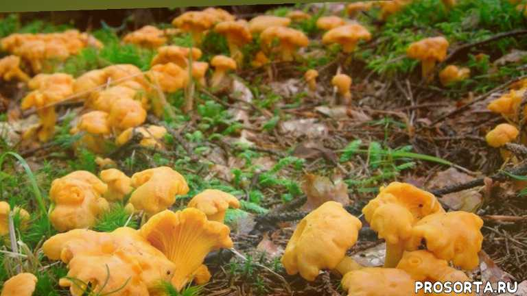 грибная пицца, грибные места, по грибы 2020, белые грибы 2020, грибной туризм, природа россии, грибноф, лесная кухня