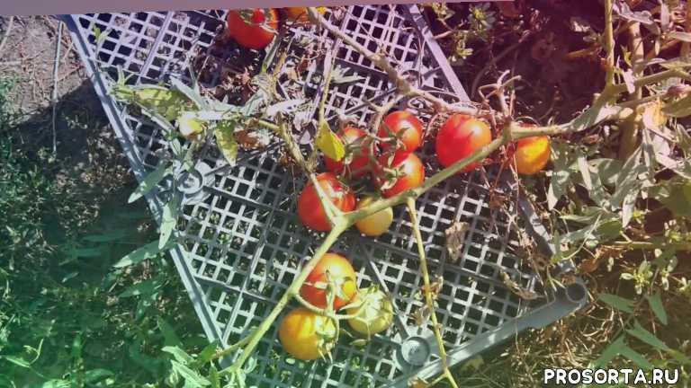 комнатные помидоры, детерминантные томаты, вкусные помидоры, урожайные помидоры, самые урожайные томаты, ранние томаты, ранние помидоры, томат ф1