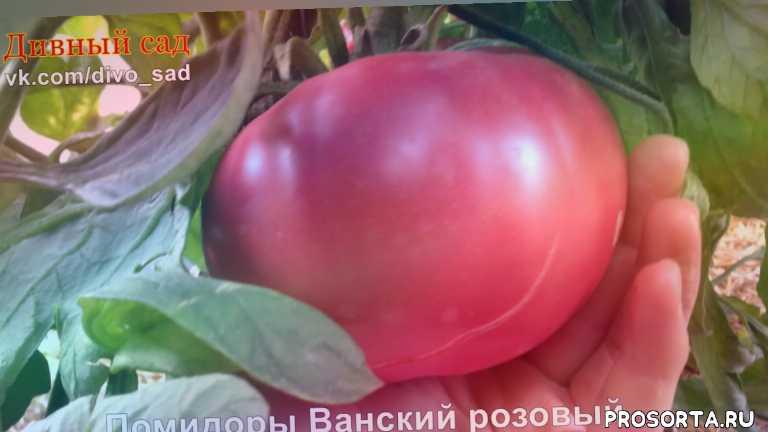тонкая кожица, ванский розовый, народный сорт, грузинские томаты, красные сорта томатов, красные сорта помидор, помидор ванский розовый, какой сорт помидор посадить