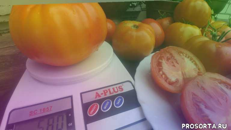томаты гиганты, дачница, на даче, дача, огородница, голова садовая, огородник, во саду и в огороде