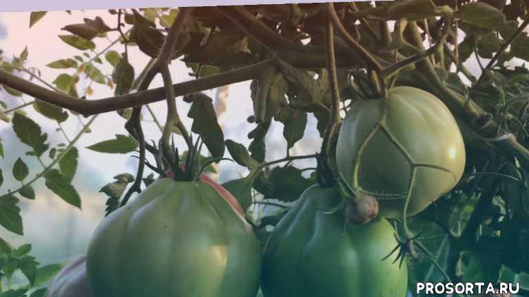 очень вкусные, отличный урожай, пузата хата, помидоры