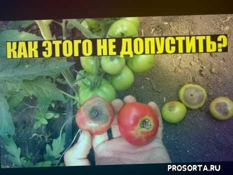 тепличный помидор, томаты в теплице, дача, огород, сад, томаты снизу гниют, помидоры снизу гниют