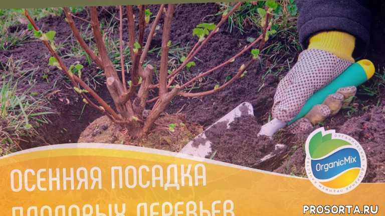 вишня, саженцы вишни, органик микс, органические удобрения, осень посадка, посадка плодовых деревьев, сажаем вишню осенью, сажаем вишню