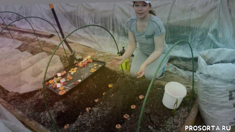 посадка гладиолусов в подмосковье, гладиолусы посадка луковиц, подготовка гладиолусов к посадке, гладиолус цветок, светлана самойлова, сад для души светлана самойлова, посадка гладиолусов в открытый, гладиолус уход