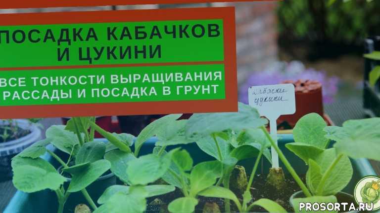 посев кабачков, как выращивать кабачки, рассада кабачков уход, королева капусты, выращивание кабачков, кабачки выращивание и уход в открытом грунте, выращивание кабачков на компостной куче, выращивание кабачков в открытом грунте