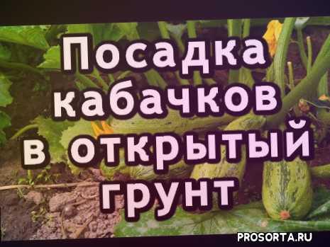 канал гаспадарка, гаспадарка, посадка рассады кабачков, посадка рассады, как выращивать кабачки, как выращивать, уход за кабачками, посадка цуккини