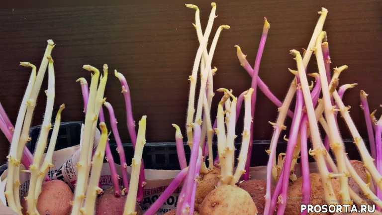 vogorode.pro, в огороде про, урожай в огороде, огород про, вогороде про, проращивание картофеля, черные ростки картофеля, ростки картофеля