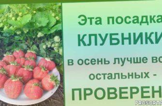 мульча для клубники, подкормка клубники, удобрения для клубники, клубника в открытом грунте, клубника в сентябре, сажать клубнику осенью, выращивание клубники, как посадить клубнику