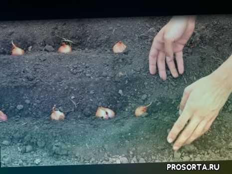 выращивание лука в открытом грунте, когда садить лук, как высаживать лук на перо, лук на перо в открытом грунте, лук на перо, как выращивать лук, высаживаем лук, лук