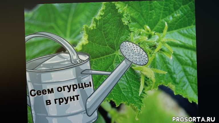 огород, сад, дача, выращивание огурцов, посадка огурца, закрытый грунт, открытый грунт, грунт