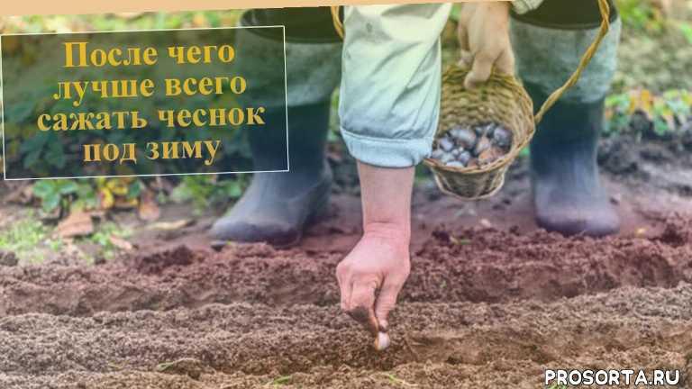 после каких овощей можно сажать чеснок, что садить после чеснока, после каких растений можно сажать чеснок, что посадить после чеснока, что можно сажать после чеснока на грядке, после чего можно сажать чеснок осенью, что сажать после чеснока, что посадить после чеснока на следующий год