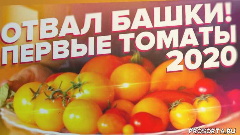 томат бочата, томаты черри, томат золотце, пасынкование томатов, томат званый вечер, томат сибирь, томат крупноплодный, томат розовый