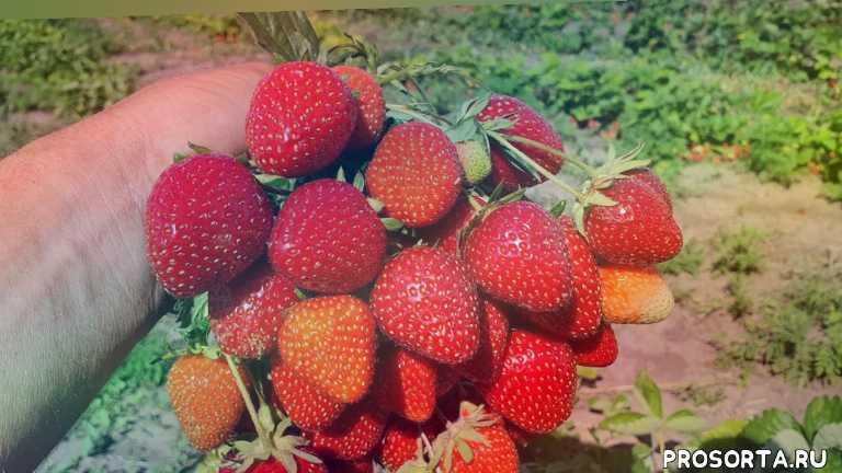 транспортабельный сорт клубники.madeleine, сладкий, пожалуй это самый лучший летний сорт клубники. клубника мадлен высокоурожайный