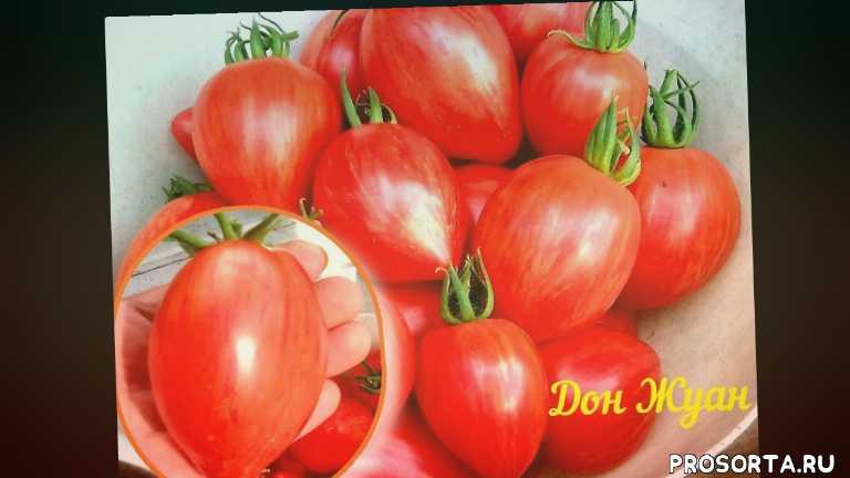 помидоры, урожайные сорта, томаты