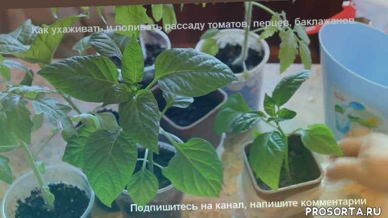 огород., посадка и уход., сколько поливать рассаду., рассада помидор., полив рассады томатов., как часто поливать рассаду., полив рассады перца., как поливать рассаду.