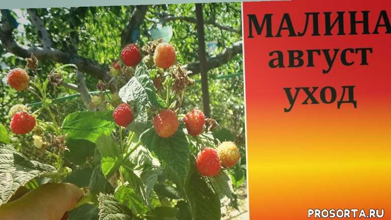 малина в августе уход, уход за малиной, дача, как ухаживать за малиной, любимая усадьба, сад огород, ягода малина, болезни малины
