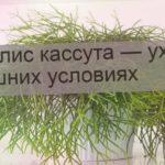Рипсалис кассута — уход в домашних условиях