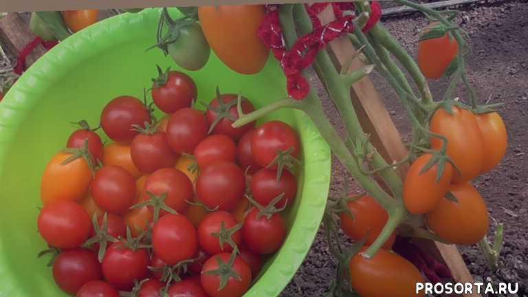 собирать семена, с каких томатов, свои семена, собрать семена, томаты, огородная азбука, ольга чернова