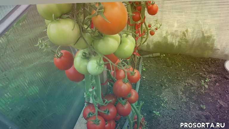 томат на семена., собрать семена, с какой кисти, свои семена, семена томатов, томаты, ольга чернова