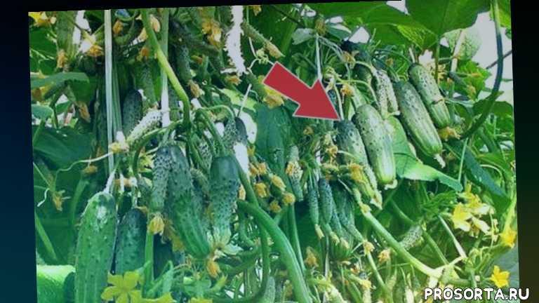 семена огурцов самоопыляемые пучковые, сорта суперпучковых, лучшие пучковые огурцы, огурцы, обзор сортов огурцов, огурец гибрид, какие огурцы посадить в апреле?, какие сорта посадить в апреле?